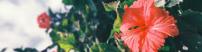 ingredients - hibiscus